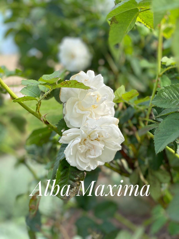 Alba-Maxima-1