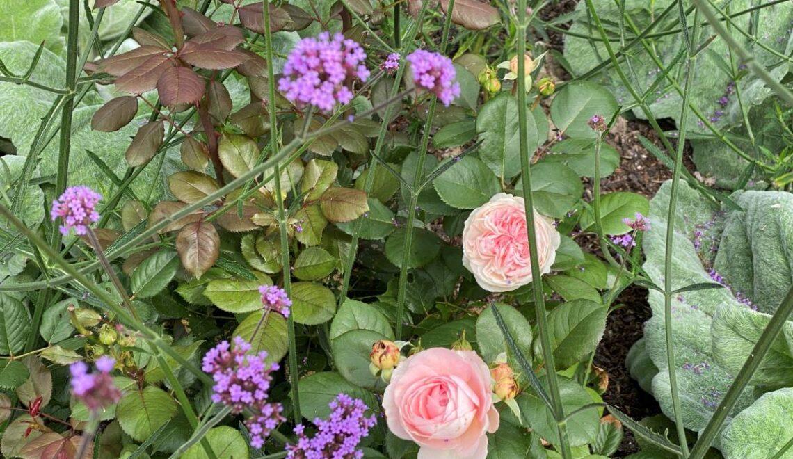 Roser, sølvsalvie og verbena bonariensis